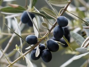 Olive tree thinking